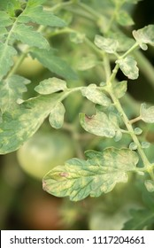Disease of the leaves of ripening green tomatoes in the garden in the greenhouse in summer