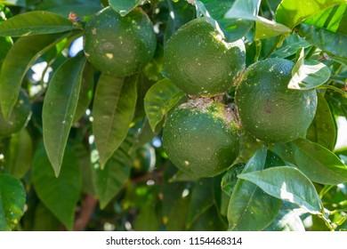 Disease mandarins grown in the garden. Citrus scab