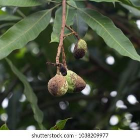 disease in mango, skin is not beautiful.
