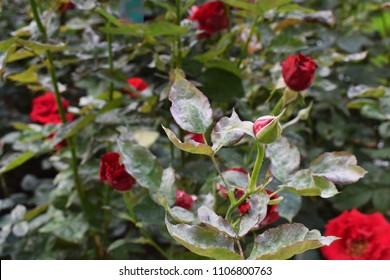 disease on roses