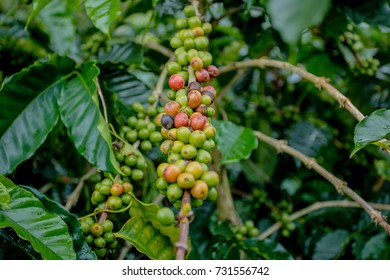 Disease of red coffee beans before keep product
