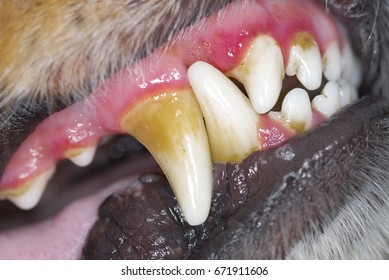 Disease of teeth in dogs, plaque of a tooth stone