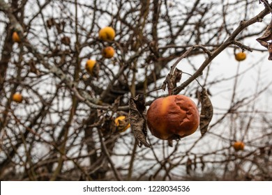 Diseased branches of an apple tree , closeup. Russia