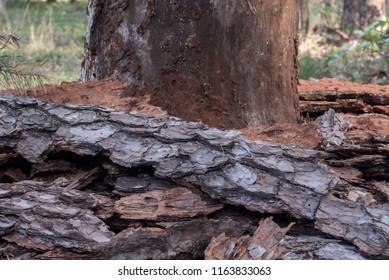 diseased damaged pine tree without bark