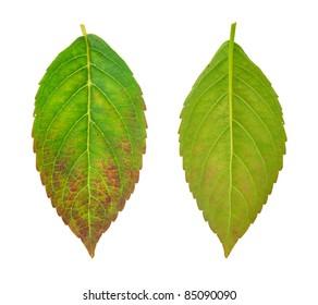 Diseased leaf of  Hydrangea serrata Blue Bird - fungal attacked