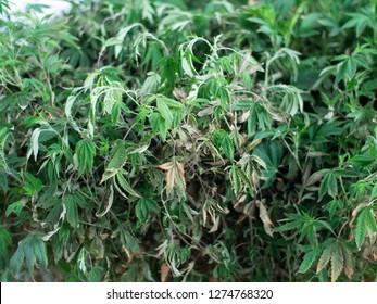Diseased Marijuana Plant Leaves
