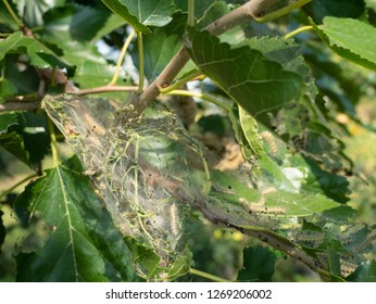 diseased tree green leaves with caterpillar web. summer outdoor closeup image