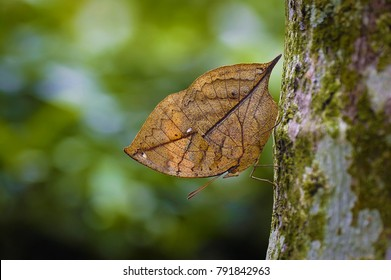 Disguised as dead leaves Butterfly