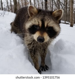 Disoriented raccoon with canine distemper or rabies