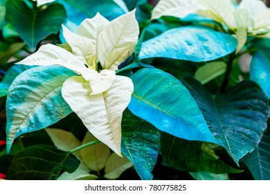 Display of blue and white Christmas poinsettia plants in natural light