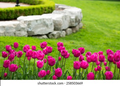 Display of colorful magenta tulips flowering in a flowerbed in a lush green garden with a natural rock retaining wall heralding the start of spring
