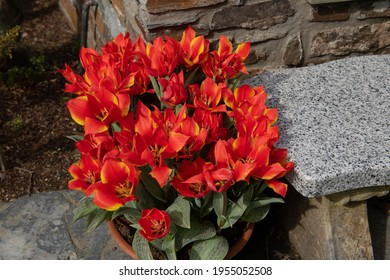 Display of Spring Flowering Bright Red Tinged with Yellow Tulips (Tulipa 'Love Song') Growing in a Terracotta Pot on a Terrace in a Garden in Rural Devon, England, UK