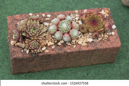 Display of Succulent Houseleeks or Sempervivums in a Brick with a Green Background in Rural Devon, England, UK