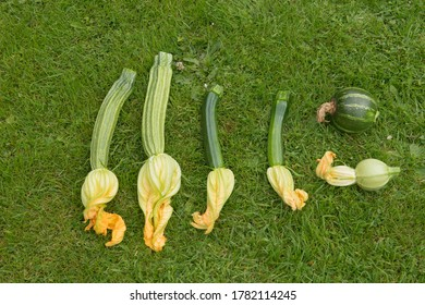 Display of Summer Flowering Home Grown Organic Zucchini or Courgette Vegetables (Tondo Chiaro di Nizza, Romanesco, Eclipse and Defender) on a Background of Green Grass in a Garden in Devon,England,UK