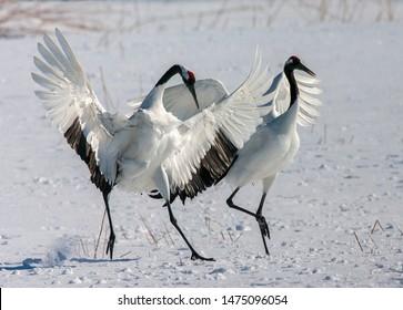 Displaying pair Red-crowned Cranes (Grus japonensis) on Hokkaido in Japan during winter.