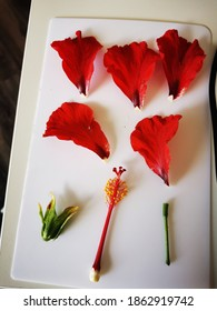 Dissected bright red Hibiscus flower