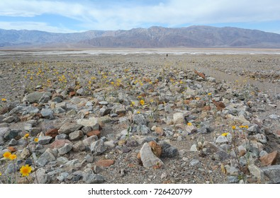 In the distance, a man walks along rocks and wildflowers in Death Valley National Park.