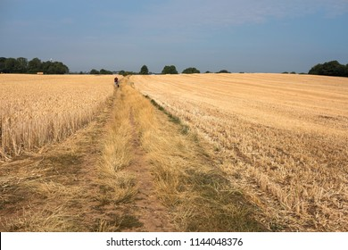 Distant figure walking in a dry crop field during the UK summer heatwave 2018