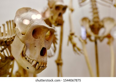 A distant look of a monkey skull and a standing pose nearby. - Shutterstock ID 1544067875
