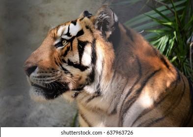 Distant look of tiger behind bars in zoo in Rio de Janeiro, Brazil.