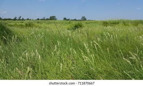 Distichlis spicata - salt grass Mid-Atlantic salt marsh