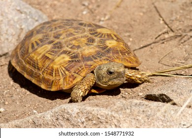 The distinctive flattened shape of the rare Pancake Tortoise is endemic to areas of granite outcrops in East Africa.