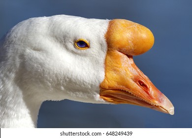 Distinctive knob at base of beak marks domestic swan goose in close up portrait with blue background.  Location is Reid Park in Tucson, Arizona.