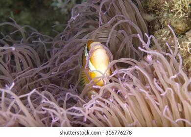distressed or surprised clownfish seeks refuge in its sea anemone