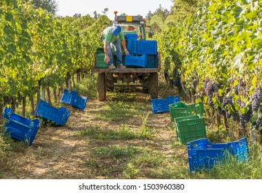 The distribution of colored boxes for harvesting bunches of black grapes in the Chianti area, Tuscany, Italy