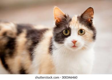 Distrustful domestic cat with big eyes