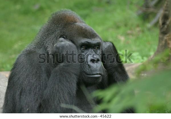 Disturbed gorilla shutting off the noise