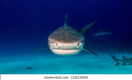 Disturbing close-up of tiger shark approaching the photographer. Tiger Beach. Bahamas.