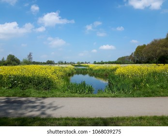 Ditch with rapeseed on the banks, brilliant blue sky with small white sheep clouds. At Gouda, The Netherlands.