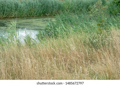 Ditch with tall grass and reed during summer.