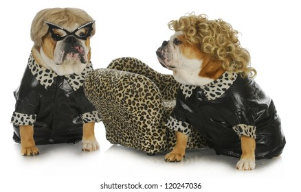 diva dogs - two female english bulldogs wearing blonde wigs dressed up in black leather coats