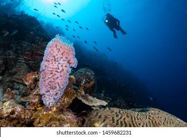 Diver approaches azure vase sponge on the reef in Bonaire, Netherlands Antilles
