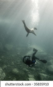 A diver and a California Sea Lion (Zalophus californianus) play together underwater in the Sea of Cortez, Mexico