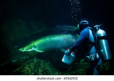 Diver feeding Aparaima in aquarium