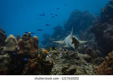 Diver follows nurse shark through coral reef toward group of yellow and black fish
