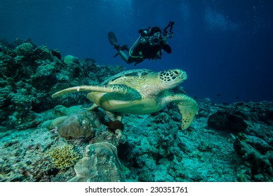 Diver and green sea turtle in Derawan, Kalimantan, Indonesia underwater photo. Chelonia mydas resting on the reefs and diver heading to sea turtle to take pictures.