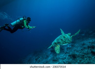 Diver and green sea turtle in Derawan, Kalimantan, Indonesia underwater photo. Chelonia mydas resting on the reefs and diver heading to sea turtle.
