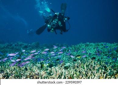 Diver and group of anthias in Derawan, Kalimantan, Indonesia underwater photo. Group of anthias female Pseudanthias tuka swimming above coral reefs.