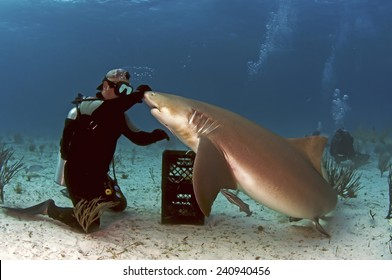 Diver interacting with a lemon shark
