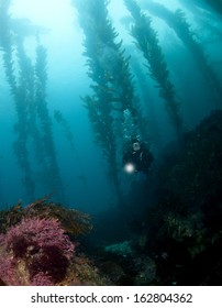Diver in the kelp in Catalina