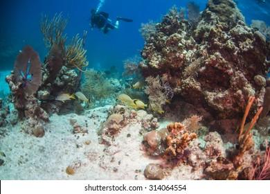 Diver observing french grunts