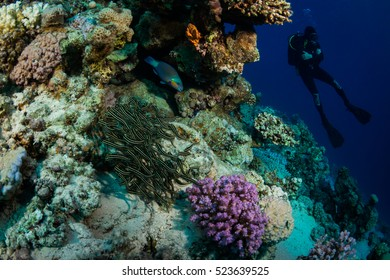 Diver on the reaf of Red sea