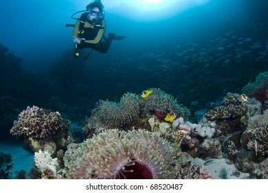Diver over Anemones and Clownfish at Nemo City in the Red Sea, Egypt