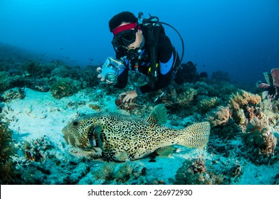 Diver and pufferfish Arothron mappa in Gili, Lombok, Nusa Tenggara Barat, Indonesia underwater photo. Pufferfish resting on the substrate, and the diver taking picture the fish