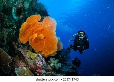 Diver and sea fan Melithaea in Banda, Indonesia underwater photo. There is mushroom leather coral, the diver looking the gorgonian.