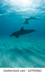 A diver uses an electric scooter to play with a common Bottlenose dolphin (Tursiops truncatus) in the crystal clear waters off the Turks and Caicos Islands in the Caribbean Sea.